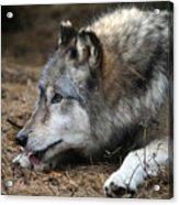 Gray Wolf Acrylic Print