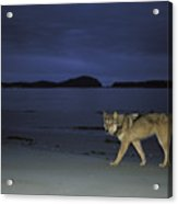 Gray Wolf On Beach At Twilight Acrylic Print
