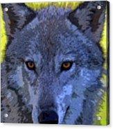 Gray Wolf Portrait Acrylic Print