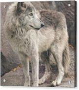 Gray Wolf Profile Acrylic Print