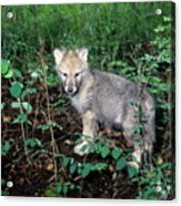 gray Wolf Pup in Woods Acrylic Print