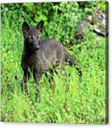 Gray Wolf Pup Acrylic Print