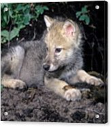 Gray Wolf Pup With Prey Acrylic Print