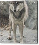 Gray Wolf Stare Acrylic Print