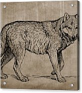 Gray Wolf Timber Wolf Western Wolf Woods Texture Acrylic Print
