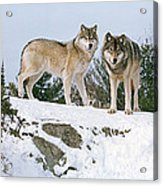 Gray Wolves Canis Lupus In A Forest Acrylic Print