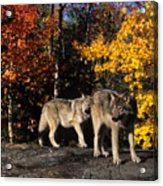 Gray Wolves In Autumn Acrylic Print