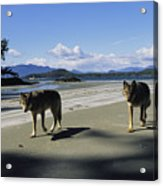 Gray Wolves On Beach Acrylic Print