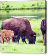 Grazing Bisons Acrylic Print