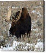 Grazing Bull Moose Acrylic Print