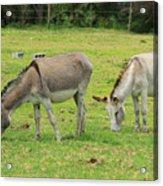 Grazing Donkeys Acrylic Print