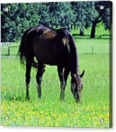 Grazing Horse In The Flowers Acrylic Print