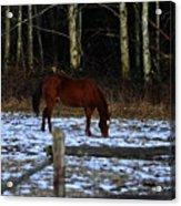 Grazing In A Washington Winter Acrylic Print