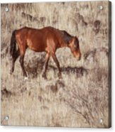 Grazing In The Winter Grass Acrylic Print