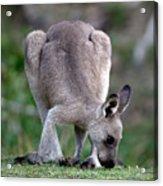 Grazing Kangaroo Acrylic Print