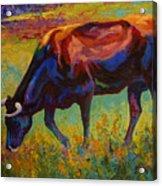 Grazing Texas Longhorn Acrylic Print