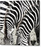 Grazing Zebras Close Up Acrylic Print