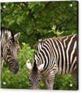 Grazing Zebras Acrylic Print
