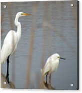 Great And Snowy Egret Acrylic Print