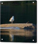 Great Black-backed Gull  Acrylic Print