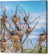 Great Black Cormorants Colony - Danube Delta Acrylic Print