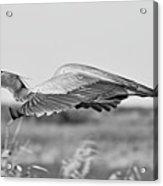 Great Blue Egret In Flight Acrylic Print