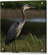 Great Blue Heron 1 Acrylic Print