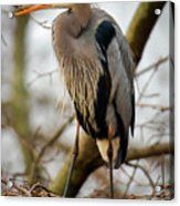 Great Blue Heron 1 Acrylic Print