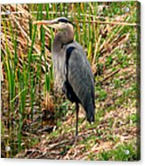Great Blue Heron 2 Acrylic Print