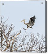 Great Blue Heron 2014-4 Acrylic Print