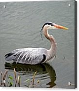 Great Blue Heron 4 Acrylic Print