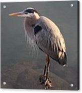 Great Blue Heron - 5 Acrylic Print