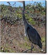 Great Blue Heron - 8 Acrylic Print