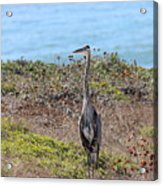 Great Blue Heron - 9 Acrylic Print
