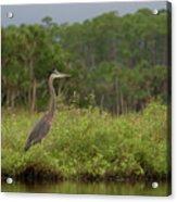 Great Blue Heron Along Cedar Creek Acrylic Print