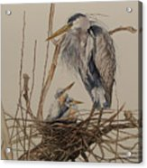 Great Blue Heron And Chicks Acrylic Print