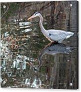 Great Blue Heron And Reflection IIi Acrylic Print
