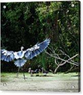 Great Blue Heron And Wood Ducks Acrylic Print