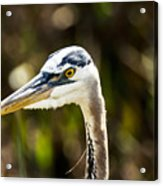 Great Blue Heron At Green Cay Acrylic Print