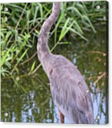 Great Blue Heron Closeup Acrylic Print