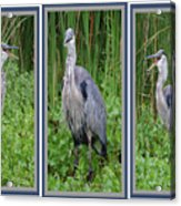 Great Blue Heron Collage Acrylic Print
