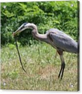 Great Blue Heron Eating Snake  Acrylic Print