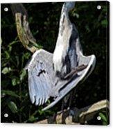 Great Blue Heron Enjoying The Sun Acrylic Print