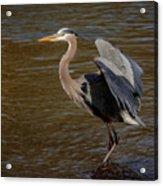 Great Blue Heron - Flooded Creek Acrylic Print