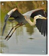 Great Blue Heron Flying Across Lake Acrylic Print