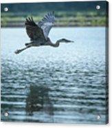 Great Blue Heron Flying Acrylic Print