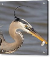 Great Blue Heron Gets Twofer Acrylic Print