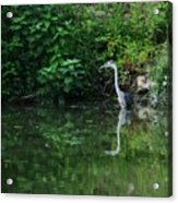 Great Blue Heron Hunting Fish Acrylic Print