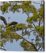 Great Blue Heron In Cypress  Acrylic Print