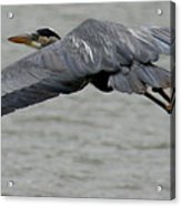 Great Blue Heron In Flight 1 Acrylic Print